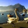 Jezioro Łabędzia :: Zdjęcie pięknego Łabędzia<br /> z Lecco w Italii.